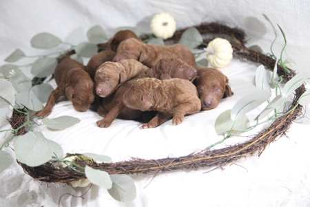 Scarlet and Blaze's Litter – Reds and Apricots